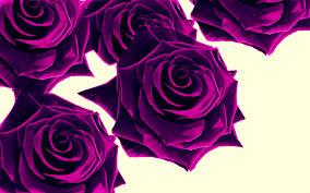 purple rose wallpaper download. Fine Rose Purple Roses Wallpaper On Rose Download L