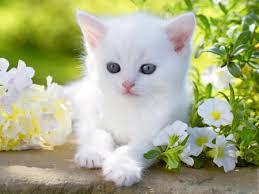 beautiful white cats wallpaper. Modren Wallpaper White Kitty In Spring Garden Throughout Beautiful Cats Wallpaper