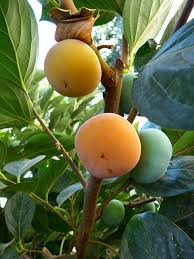 How To Grow And Eat Persimmon  GardenDrumLotus Fruit Tree
