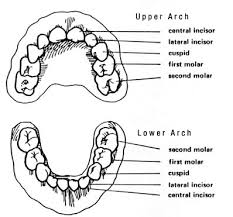 Teeth Age Chart At What Age Do Baby Teeth Normally Fall Out Affordable