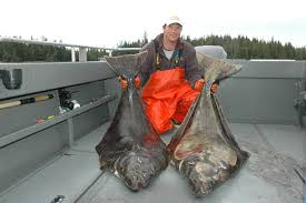 with halibut season just around the corner here s a few rigging tips that have put a lot of halibut in my boats over the years