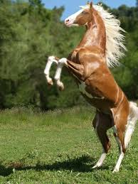 wild paint horses rearing. Delighful Horses Beautiful Paint Horse Rearingup Named U0027Cheyenneu0027s Goldu0027 To Wild Horses Rearing G