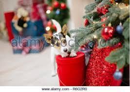 Jack Russell Terrier In Box Mit Weihnachtsbaum Stockfoto