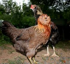 Ameraucana Chicken Color Chart 15 Popular Breeds Of Chickens For Raising As A Backyard