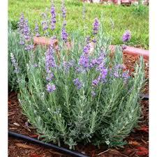 Levandule - modrá | Zahradnictví Jihlava