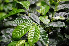 del of a coffee plant juayua el salvador stock image image of