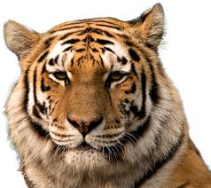 tiger face png head transpa background