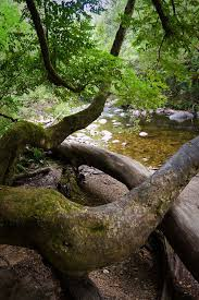 Knarly Franklin Myrtles - Mt Fields Tasmania by jomilo75 on Flickr |  Myrtle, Nature tree, Nature