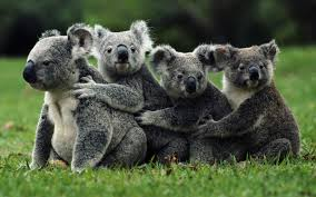 kool koalas tumblr kool koala