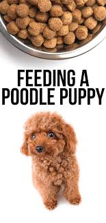 Toy Poodle Feeding Chart Feeding A Poodle Puppy Diet Tips And Scheduling Ideas