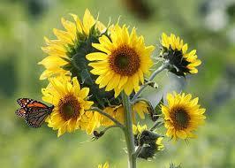 Volunteer  Sunflower HouseSunflower House