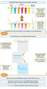Dna Fingerprinting Lab Answers Forensic Dna Fingerprinting Kit Flowchart Forensics Course Design
