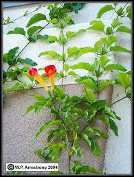 Vegetative Terminology Part 3Wall Climbing Plants Southern California