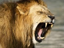 roaring lion wallpaper hd 1080p.  Lion Wallpaper Intended Roaring Lion Hd 1080p E