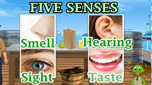 the 5 senses sight hearing taste smell and touch pre and kindergarten activities you