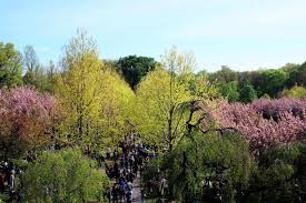 a new yorker s guide to the annual spring cherry blossom festival at the brooklyn botanic garden