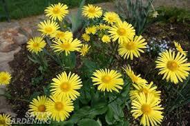 early spring perennials. Fine Perennials Leopardu0027s Bane On Early Spring Perennials A