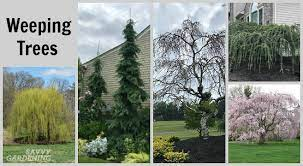 weeping trees 14 beautiful choices for