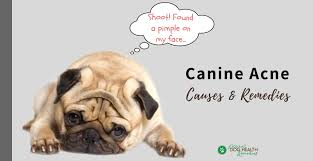 canine acne home remes