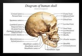 Human Skull Diagram Anatomy Educational Chart Framed Poster 20x14 Inch