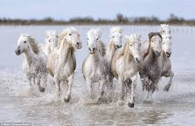 wild horses running through water.  Through Amazing But Frightening Mr Carmassi Had Some Terrifying Moments When The  Horses Seem To Run Intended Wild Horses Running Through Water H