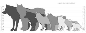 lynx size comparison chart wolf fox lynx cat by couchkissen on deviantart