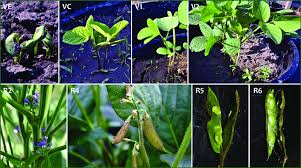 Soybean Growth Stages And Development Download Scientific