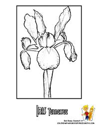 Small Picture Tennessee State Flower Coloring Page Iris USA Coloring Pages