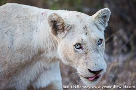 white lioness with blue eyes. Delighful Lioness How Are Those Blue Eyes Hypnotic No Wonder The Local Shangaan People  Consider These White Lions To Have Spiritual Significance Intended White Lioness With Blue Eyes E
