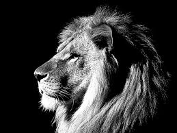 lion wallpaper black and white. Perfect White Black And White Lion Best Wallpaper 19161 To B