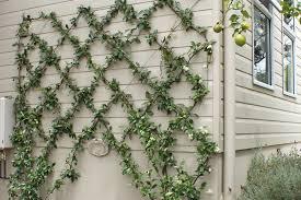 Climbing Plants  Choosing Climbers  Gardening AdviceWall Climbing Plants Nz