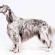 English Setter Weight Chart Keeping An Eye On Your Dogs Weight American Kennel Club