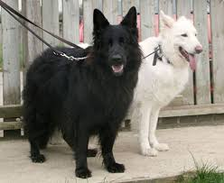 white and black german shepherd. Modren And Black And White German Shepherds In White And Black German Shepherd S