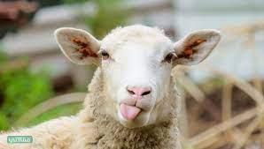 صور ورمزيات وجه خروف العيد - مقالاتي