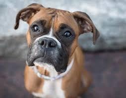 Картинки по запросу собака боксер