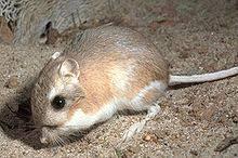 Rodents Lower Classifications Kangaroo Rat Wikipedia