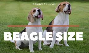 Beagle Size At What Age Is A Beagle Full Grown Dog Dwell