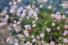 mount diablo buckwheat photo by lech naumovich golden hour restoration insute