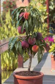 dwarf fruit trees take up a smaller