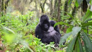 Image result for rwanda mountain gorillas