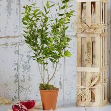pomegranate the tree of love gift garden