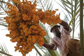 Low Angle View Of A Coconut Palm Tree With Ripe Fruits Puerto Palm Tree Orange Fruit