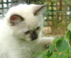 kitten ragdoll