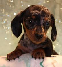 black tan silver dappled miniature dachshund puppies for in co al