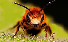Image result for lebah