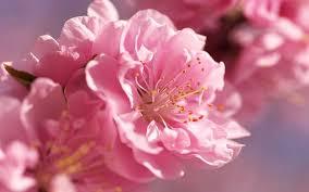 pink petaled flower petals bright