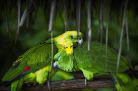 2 green parrots preview