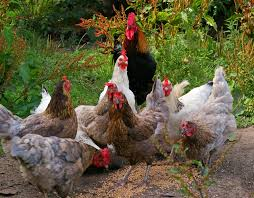 Poultry Feed Chart Organic Chicken Feed A Short Guide On The Nutrition Of