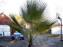 fan palm trees. a palmetto flanked by 2 larger mexican fan palms palm trees