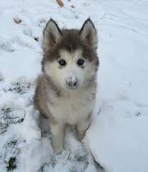 baby husky in snow. Modren Husky Animalsandfirstsnowpuppyhusky__700 Inside Baby Husky In Snow